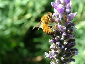 bee on lavender 2 smaller_opt